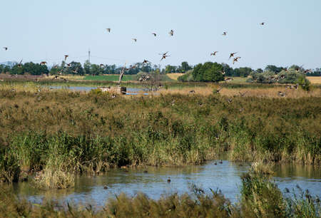 ascending: Wild ducks ascending Stock Photo