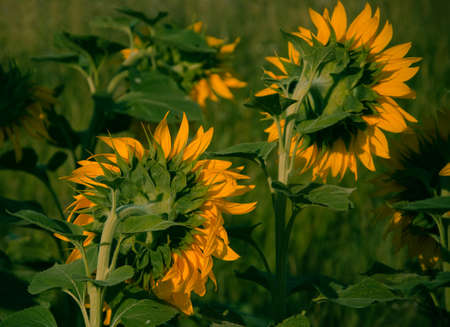 rear view: rear view of sunflowers in summer