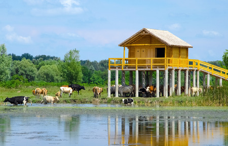 pile dwelling: Chilling cows in the water and under the stilt house