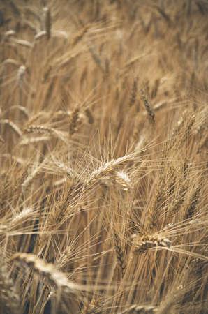 wheatfield: vertical photo of a wheat field Stock Photo
