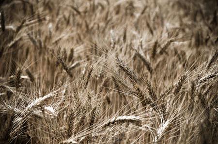 wheatfield: wheat field in the wind