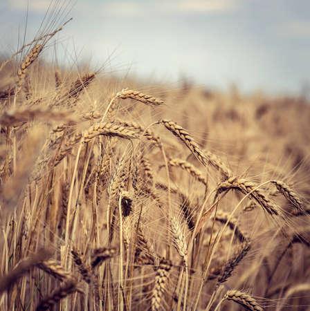 wheatfield: vintage photo of a wheat field
