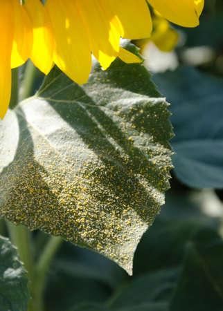 pollen: sunflower pollen
