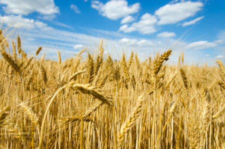 wheat: wheat field in the wind and cloudy blue sky