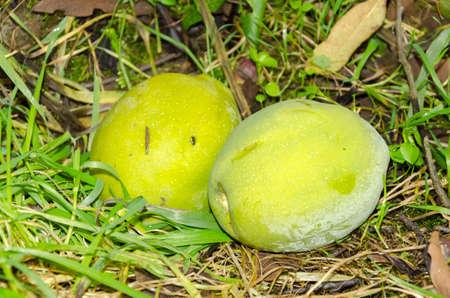japonica: Chaenomeles - Japanese quince - japonica
