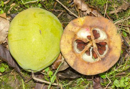 membrillo: Chaenomeles - membrillo japonés - japonica