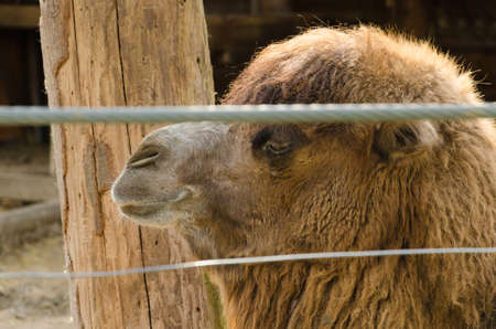 detention: in Detention - Bactrian camel in the zoo sad, camelus bactrianus