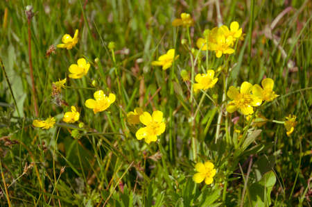 showy: Ranunculus acris - Meadow Buttercup - tall buttercup - buttercup common - giant buttercup - showy buttercup - Tall Crowfoot