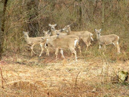 Deer Herd in Woods