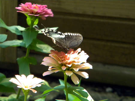 Butterfly Pollinating Zinnas