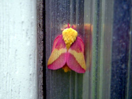 Rosy Maple Moth - Dryocampa rubicunda 版權商用圖片 - 35478761