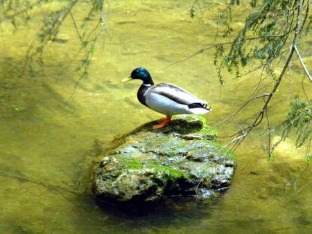 rocked: Rocked Duck