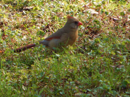 female cardinal: Female Northern Cardinal II Stock Photo