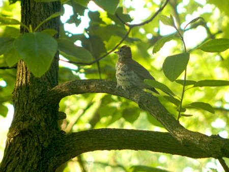 thrush: Perched Wood Thrush Stock Photo