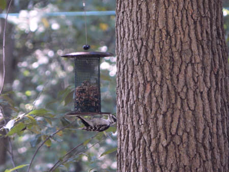 migrated: Upside Down Downy Woodpecker Stock Photo