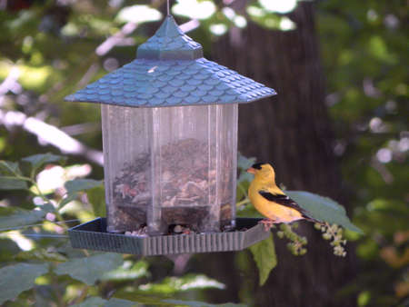 migrated: Vibrant American Goldfinch