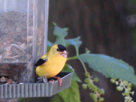 migrated: Singing American Goldfinch