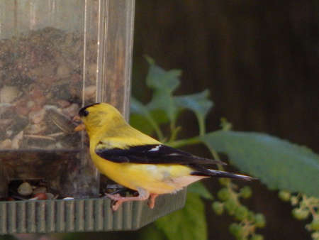 migrate: American Goldfinch at Feeder