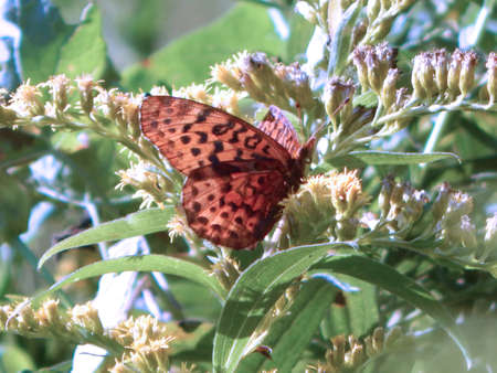 Gorgeous Aphrodite Fritillary Butterfly Stock Photo