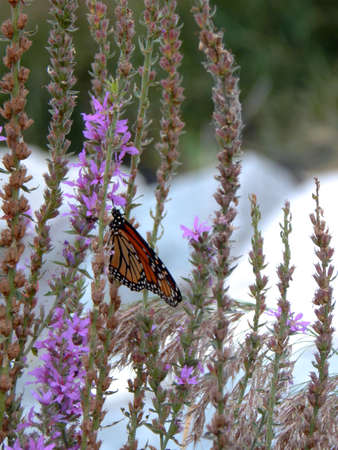 migrated: Colorful Monarch Butterfly Stock Photo