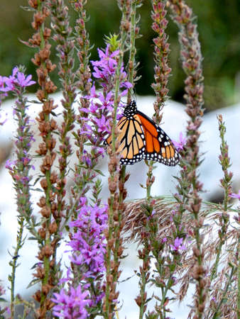 migrated: Monarch Butterfly II Stock Photo