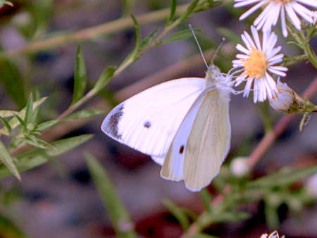 Busy Cabbage White Butterfly Stock Photo