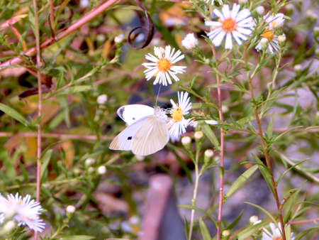 Roadside Cabbage White Butterfly Stock Photo