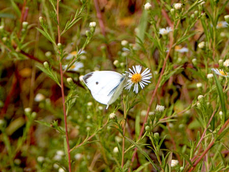 Single Cabbage White Butterfly