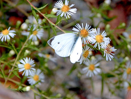 Pretty Cabbage White Butterfly