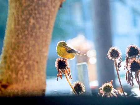 Backyard American Goldfinch Stock Photo