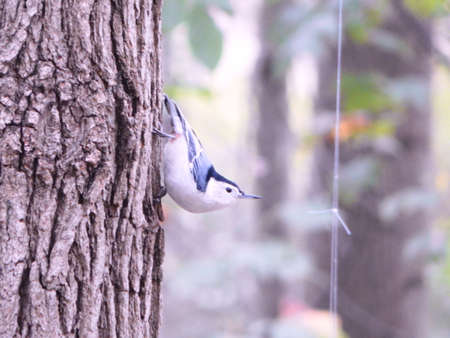 migrated: White-Breasted Nuthatch