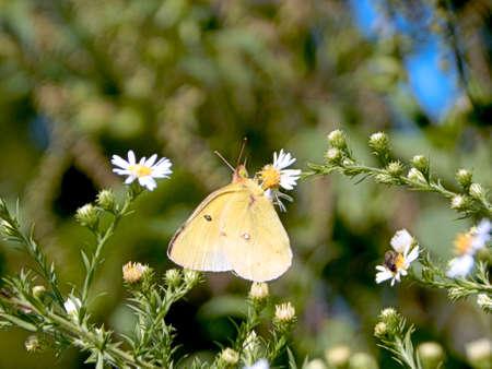 Roadside Yellow Sulphur Butterfly