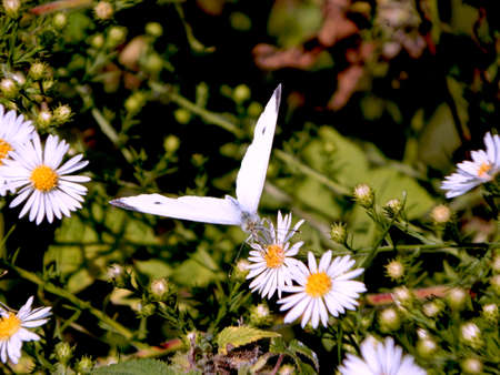Incoming Cabbage White Butterfly Stock Photo