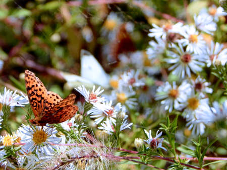 Pearl Crescent & Cabbage White Butterflies