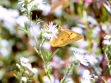 Sunny Yellow Sulphur Butterfly