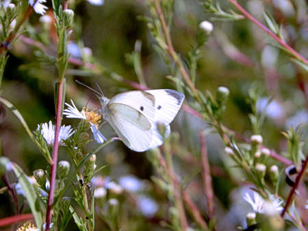 Another Cabbage White Butterfly Banco de Imagens