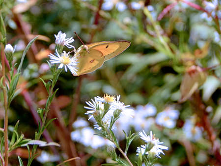 Bright Yellow Sulphur Butterfly