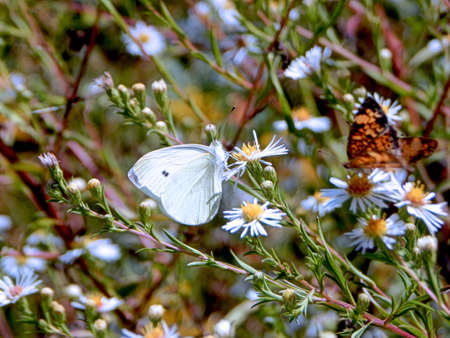 Cabbage White & Pearl Crescent Butterflies Stock Photo