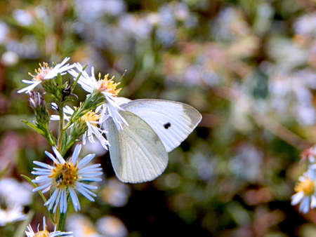 Cabbage White Butterfly III