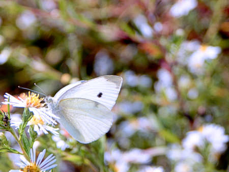 Gorgeous Cabbage White Butterfly