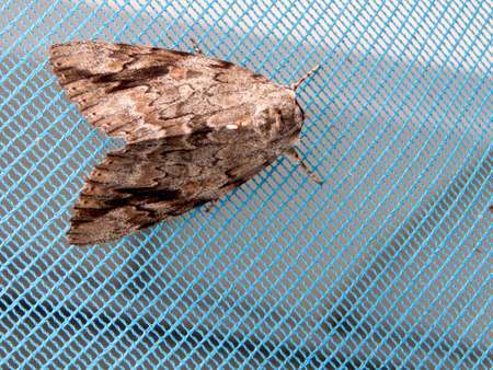 Huge Brown & Black Moth