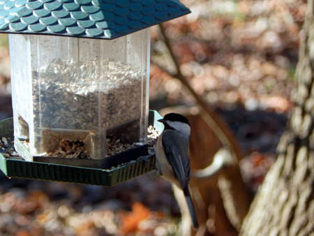 migrated: Puzzled Black-Capped Chickadee Stock Photo