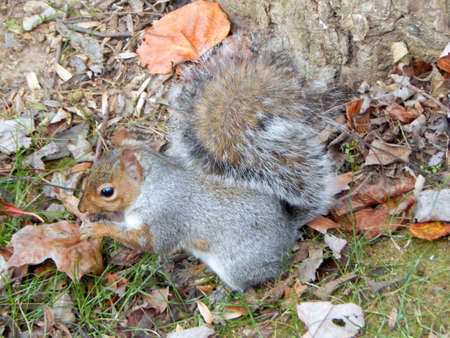 varmint: Squirrel Eating a Berry