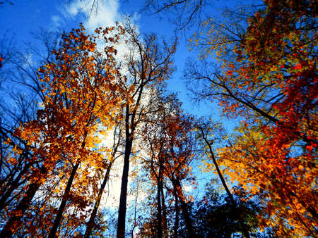 Looking Up Fall Foliage