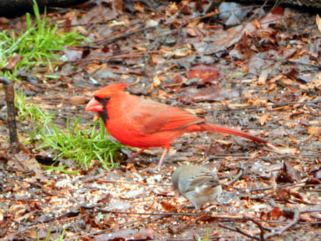 Grumpy Cardinal Stock Photo