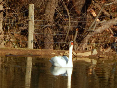 ugly duckling: Large Swan in a Pond