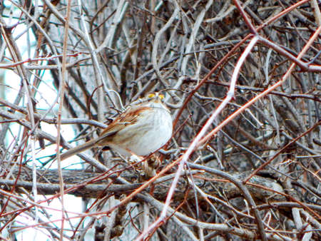White-Throated Sparrow in the Brush