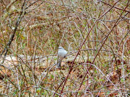 mockingbird: Mockingbird in the Brush