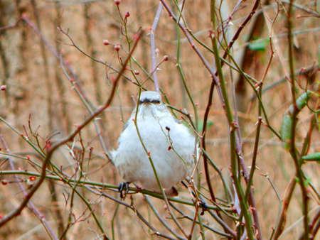 mockingbird: Perched Mockingbird