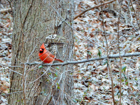 migrated: Handsome Male Cardinal Stock Photo